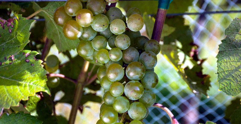 St. Pepin Grapes